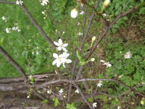 Blackthorn found behind our house.